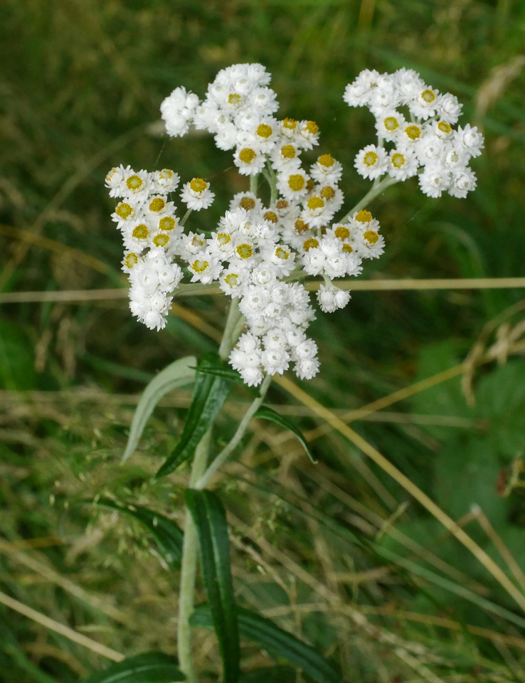 cudweed__-_P1280456