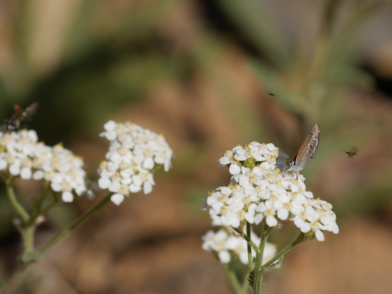 I included this photo to show the number and variety of insects visiting the yarrow.  Behind the butterfly, there are two insects flying.  At the left edge of the photo, another insect is visible on the yarrow.