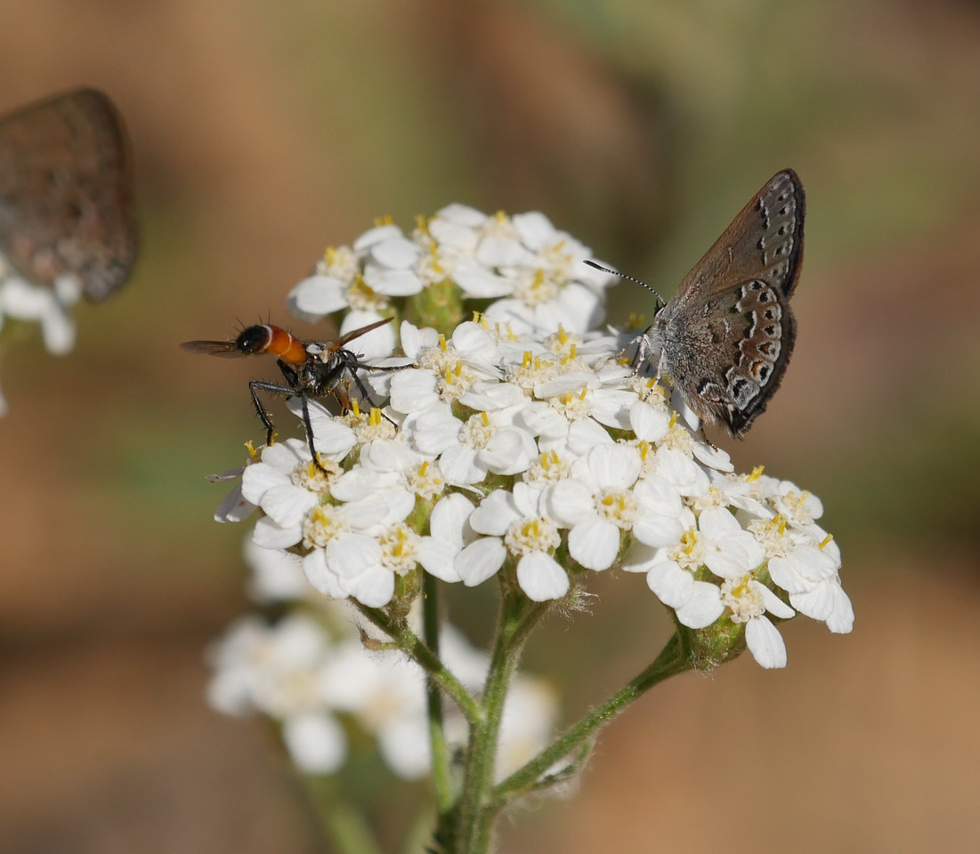 The butterfly and wasp(?) cooperated by visiting the same cluster of flowers.