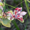 There is beauty in the colors of mildew on this manzanita.