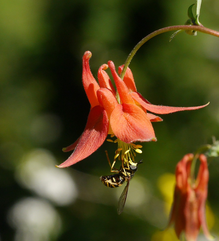 This obliging insect stayed on the columbine flower long enough for Lesley to get several fine photos.