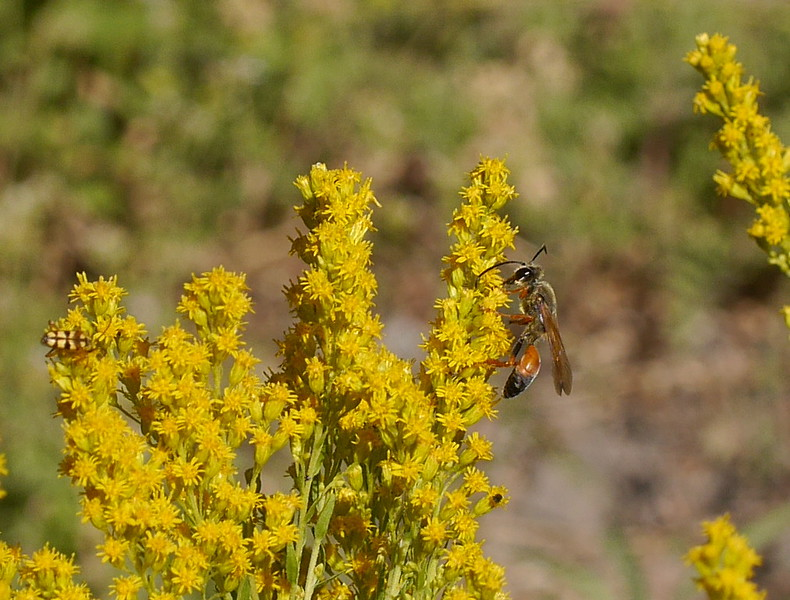 The red abdomen on a goldenrod caught Lesley's eye.  The insect on the left side illustrates that the goldenrod was a busy place to eat.
