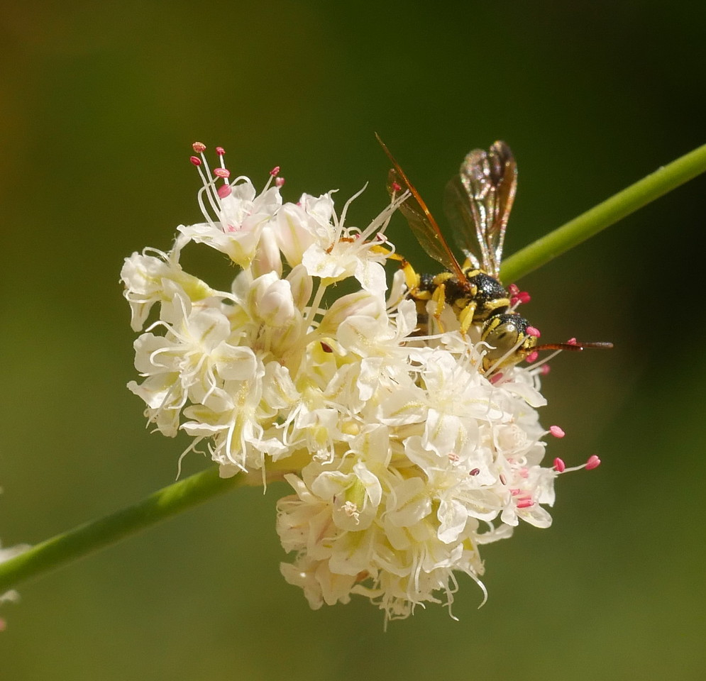 A wasp I think on buckwheat flowers.  The flowers are quite small so you can see that the insect is not very big.