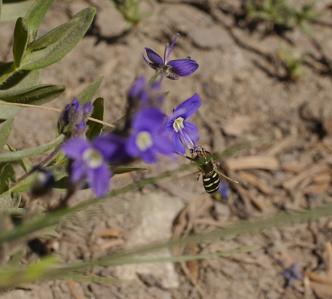 We didn't photograph as many insects on Mount Rainier but we got a couple on veronica flowers.  I think this is a hoverfly.