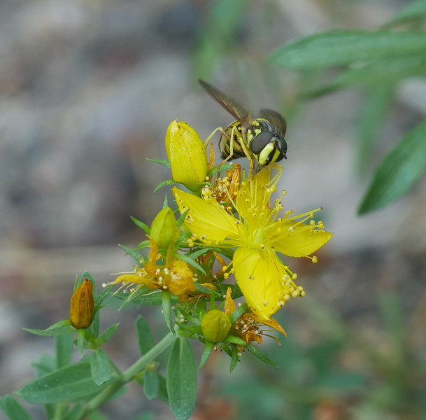 Mt. Shasta was busy with insects getting on with feeding and pollinating.