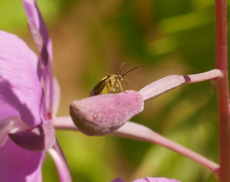 Later I saw this insect on another fireweed.  Same species of insect I think.
