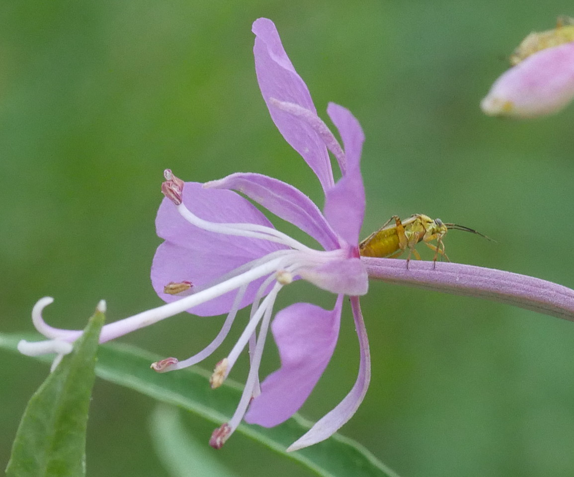 This was one of my favorite photos of the whole trip. A well isolated fireweed flower against a quiet contrasting background and the golden insect.  The insect crawled out a bit after my first photo so I took another with more of him showing.
