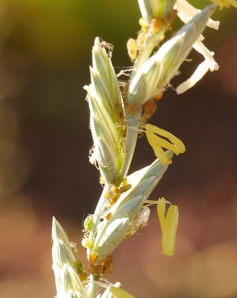 The yellow objects are flowers on a grass plant.  The flowers are tiny and hard to photograph.  This was the first time that I have seen aphids on a flowering grass plant.