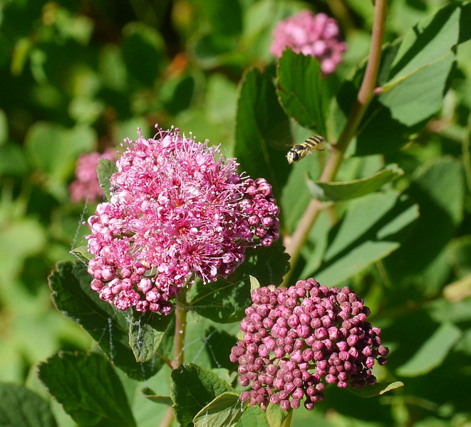 A different species from the spirea that we saw on Mount Shasta.  Bonus insect (hoverfly I think).