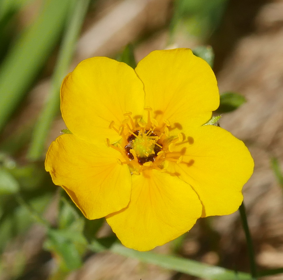 We see cinquefoils (potentilla) every year or two and between times, I always forget the names.
