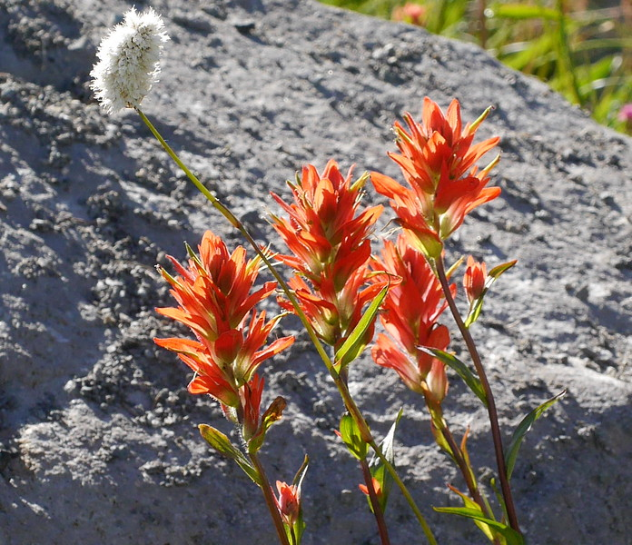 A lighter colorer species of paintbrush was also present in the area.  I wasn't always sure which species I was looking at.  In this photo, the light shining through the flowers makes them look much lighter in color.