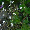 I especially liked this saxifrage with lots of small flowers seeming to float in the air.