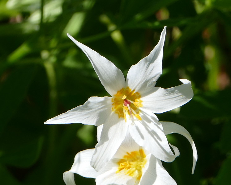 There were a number of species of flowers at Paradise but the avalanche lily gets my vote as the big star of the show.  It's an over-the-top flower with size, shape and variety to offer.