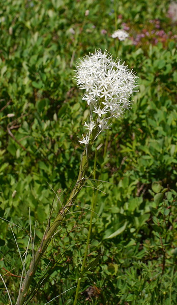 Beargrass was striking at every stage of development.