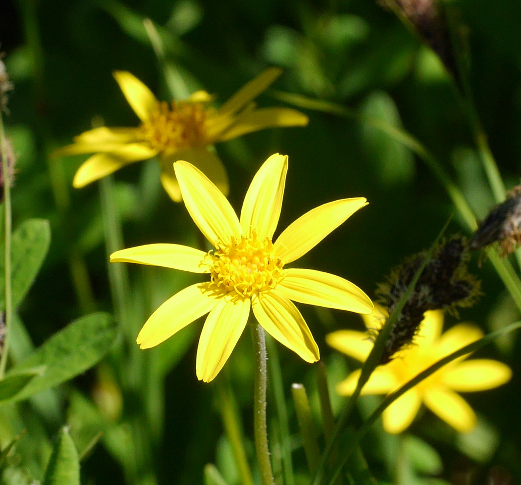 This arnica showed well in sunlight in Lesley's photo.  We're taking pictures of light as well as flowers and insects.