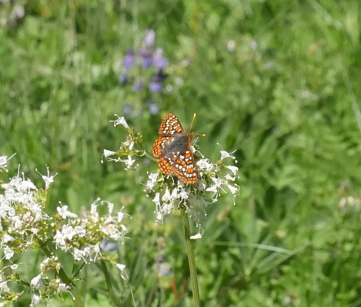 These flowers are fading but the butterfly still found them to be of interest.