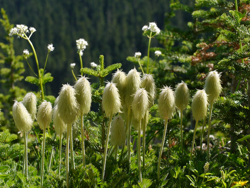 As we walked along the trail, we saw clusters of these strange looking plants.  Gary told us that these were the seed heads of anemones.