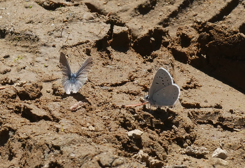 A damp spot along the trail attracted several butterflies.