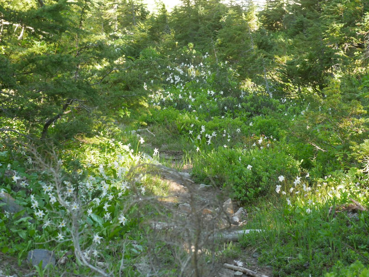 We had seen white avalanche lilies at the Paradise area the day before and we saw even more here.  Sometimes we see a new discovery and in the course of the day, we go from 0 to 60 plants.