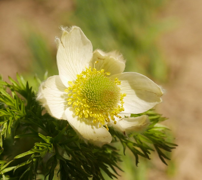 There were many seed heads but we finally found one anemone flower.  A spectacular plant all around.