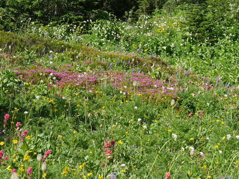 We saw dense wildflower meadows in many places on Mount Rainier.