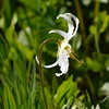 white avalanche-lily_Erythronium montanum_P1280207