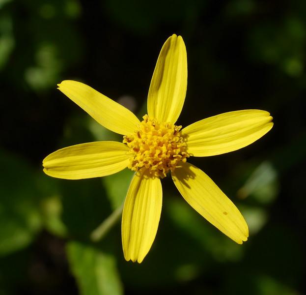 Broadleaf Arnica_Arnica latifolia_P1280383