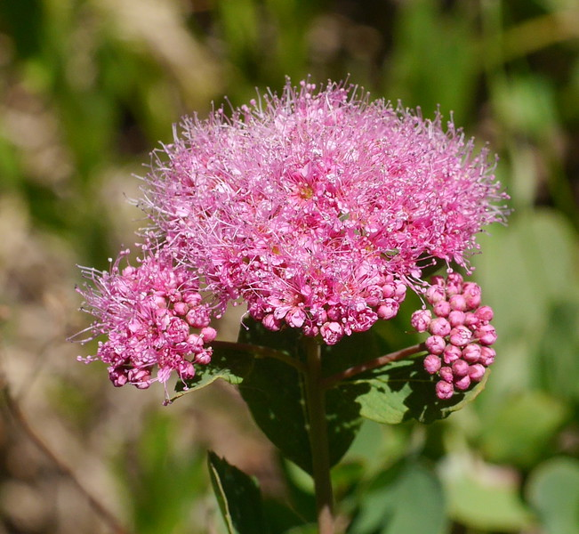 Each flower head has many individual blooms.  In a field with dozens of spirea, the number of flowers to be visited by pollinators is huge.  It raises questions about the statistics of pollination in an area with a short growing season.
