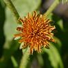 Orange agoseris_Agoseris aurantiaca_P1280167