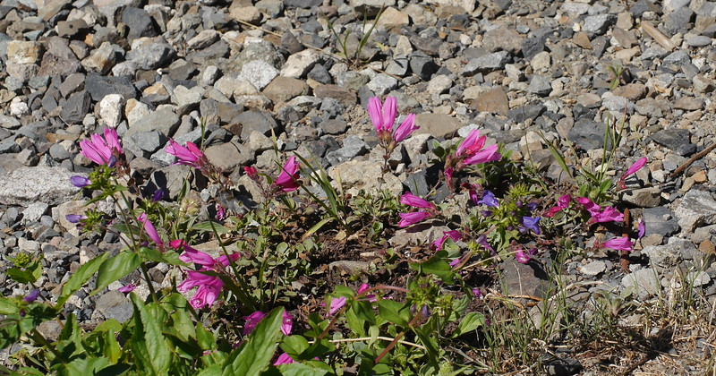 And a different very pink penstemon.