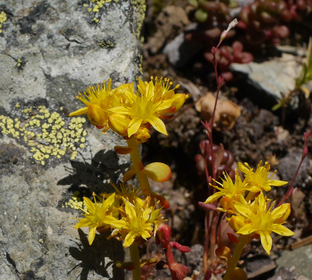 We found a group of sedum plants nestled into rocks on one side of the trail.