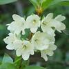 White Rhododendron_Rhododendron albiflorum_P1120646