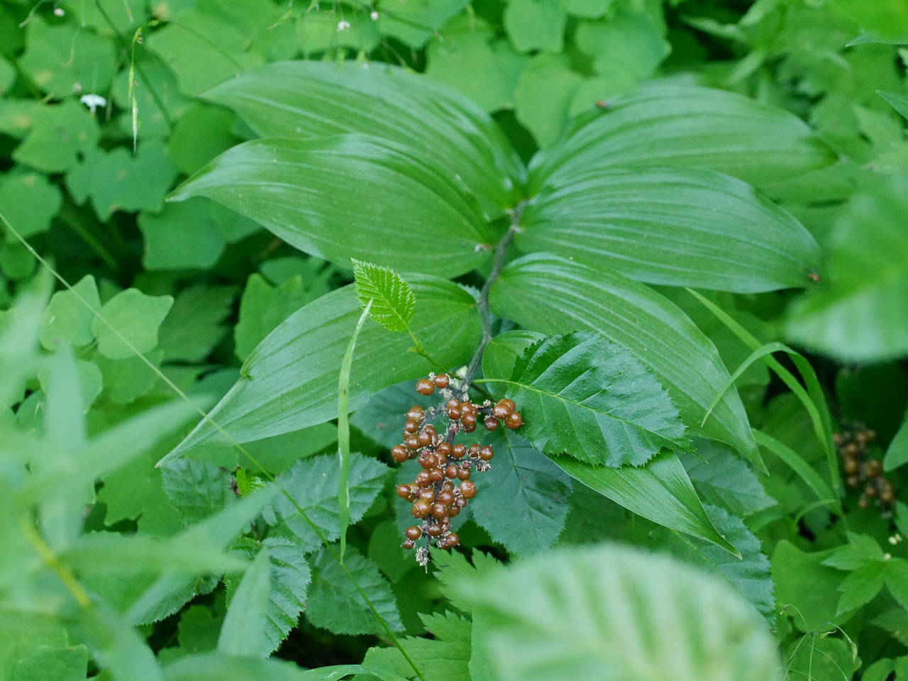 The leaves that go with the berries look like (false) Solomon's seal leaves.  That's as far as I went in IDing the plant.