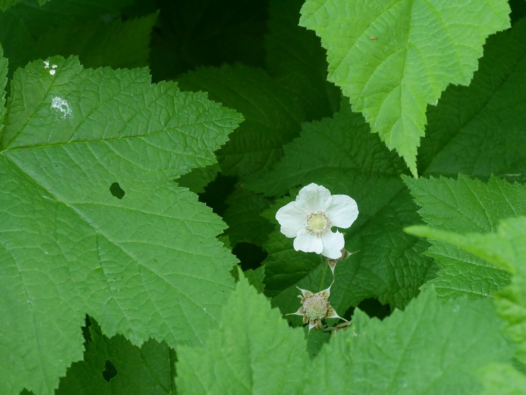 There were flowers growing on the dry side of the road including this thimbleberry.
