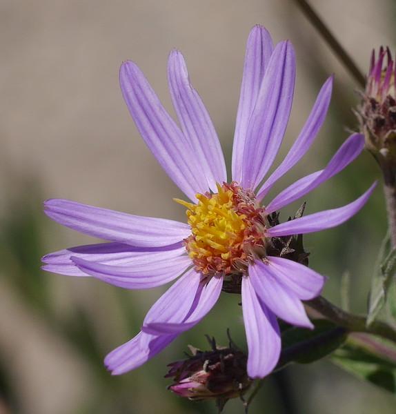 Cascade aster_Eucephalus ledophyllus_P1270886
