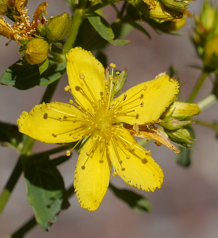 We saw it on Mt. Shasta and then we saw it on Mt. Hood.  Probably the non native Hypericum perforatum.