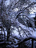 GOOD MORNING<br /> Rancho Big Bend<br /> <br /> And here's what I was greeted with on my way to work the next day -- snow, snow, and more snow. The poor little desert willow was so laden down with it, I had to duck way under its branches to get by. Pretty fun stuff for here.