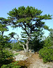 LITTLE LONE PINE<br /> <br /> Those of you familiar with my Isle au Haut adventures know this little tree by heart. Still, I can't help but stop and take its picture every time I'm out here, as I still find his presence comforting.