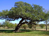 THE STOOPIN' TREE<br /> I forget just why it's called that. Maybe you had to stoop to keep from getting knocked in the head by that lower branch, or possibly because it's all stooped over.<br /> <br /> [Later, I heard that due to an oak disease, the old Stoopin' Tree died and was cut down. How sad. I'm certainly glad I got this photo of it for posterity.]
