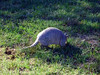 ARMADILLO<br /> While roaming the grounds, we came upon this armadillo that didn't seem to take any notice of us. I was able to get fairly close, until he finally sensed danger and took off.