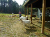 TENDING THE GOATS<br /> Just another day on the rancho. The new pole barn is really handy. The goats like it.