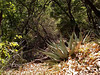 WOODLAND AGAVE<br /> <br /> No matter where you go in the Chisos Mountains (we're on the south foothills of them), you'll find agave plants -- even up on top of the mountains.