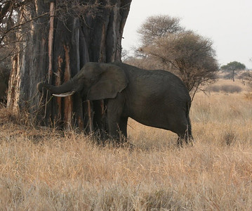 Elephant stripping & eating bark from tree