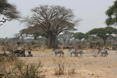 African buffalo & zebras