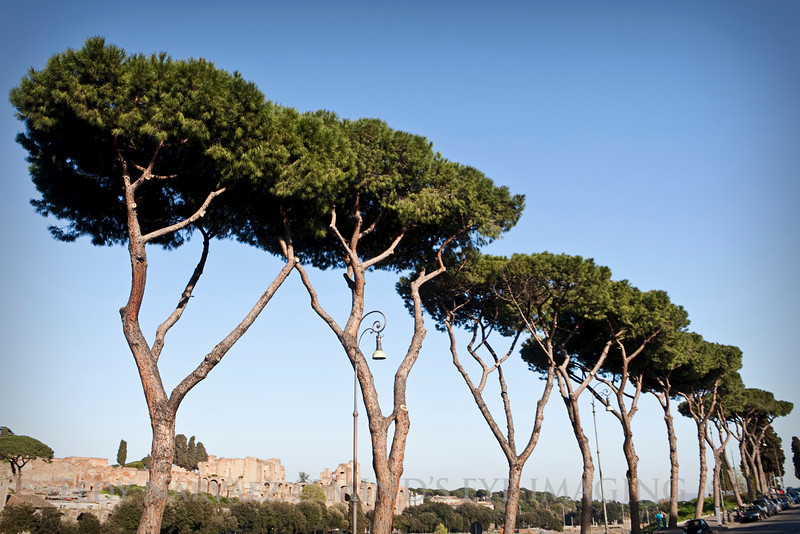 A neat row of trees across from the Circus Maximus, where the famous chariot races (now concerts) were (are) held.