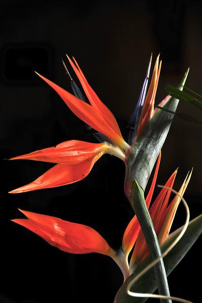 11/2008: Bogota, Colombia:  Flowers of Bogota