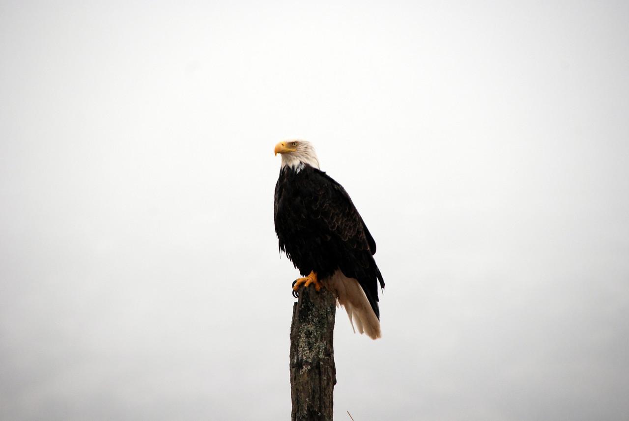 Eagle on Kodiak Island, AK