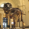 The largest most complete T-Rex ever found.