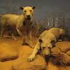 The Tsavo Lions.