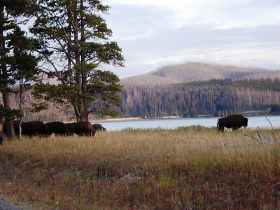 Bison, Yellowstone National Park 09-13-2010